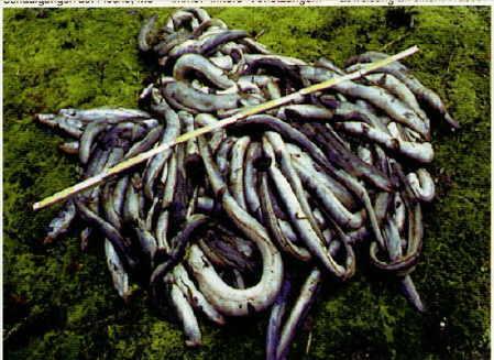 ,Mehr als 80kg tote Aale in einer Nacht: Sie überlebten die Passage durch die Turbinen der kleinwasserkraftanlage nicht. Foto:W. Klein