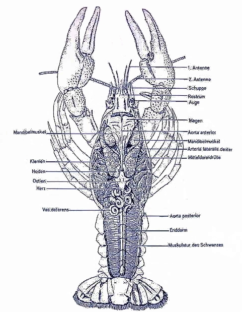 ,Die Anatomie eines Flußkrebses nach Renner