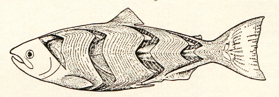 Bekos Anglerforum: Morphologie und Anatomie der Fische