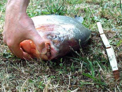 Piranha, Foto von DPA